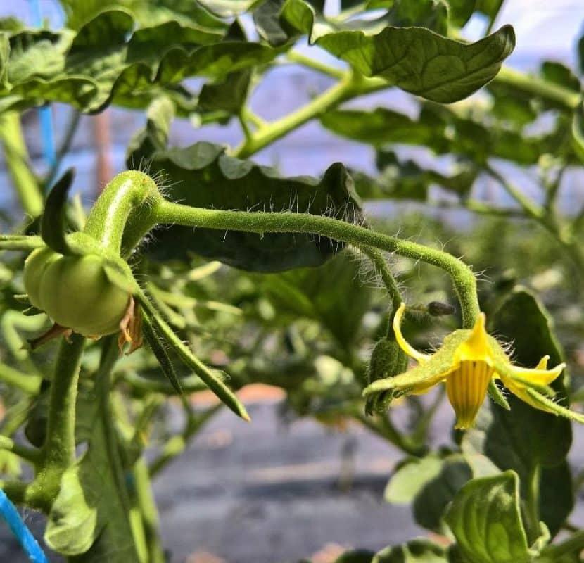 Flor del tomate Sobre nosotros - Conoce Basia