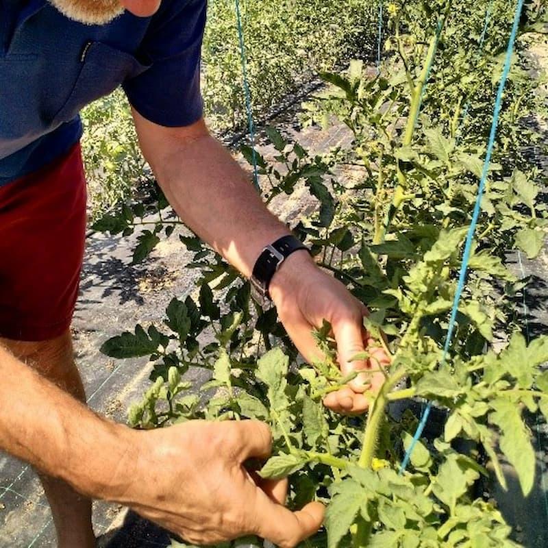 podar planta tomate rosa
