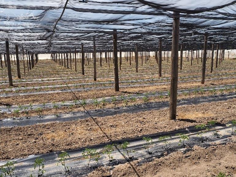 Invierno plantar tomate