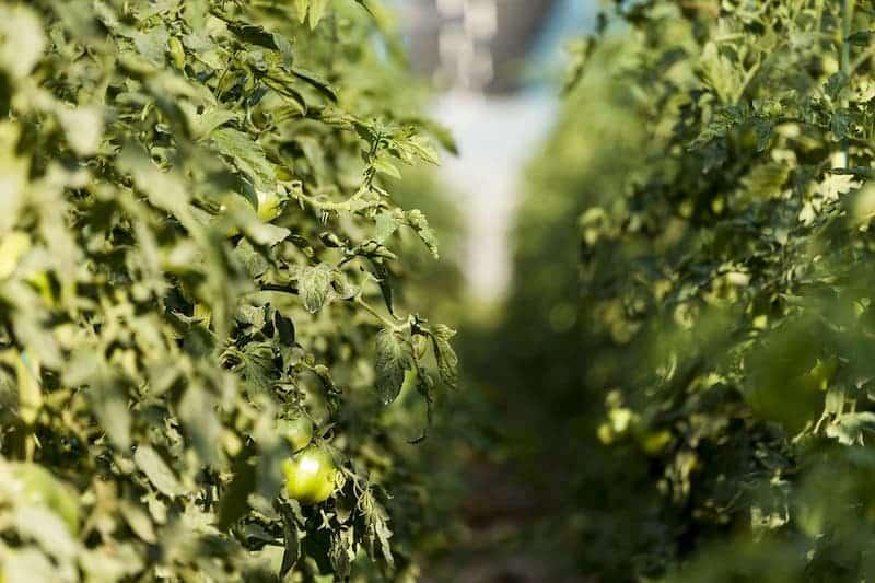Plantación tiempos tomate